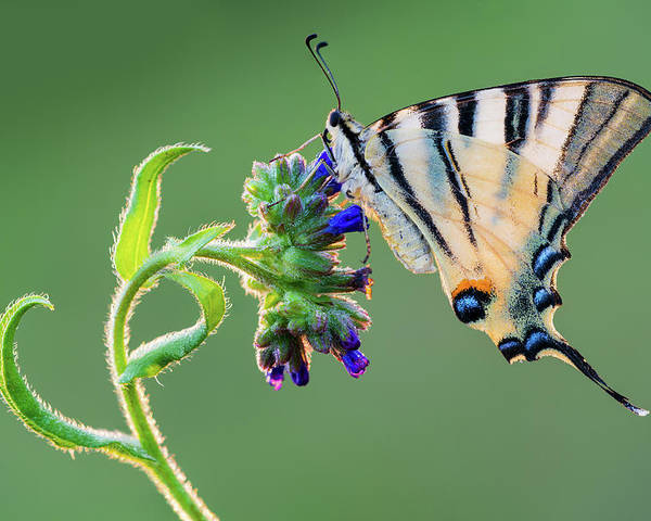 Scarce Swallowtail Butterfly Flower Nature Poster featuring the photograph Scarce Swallowtail by Petar Sabol