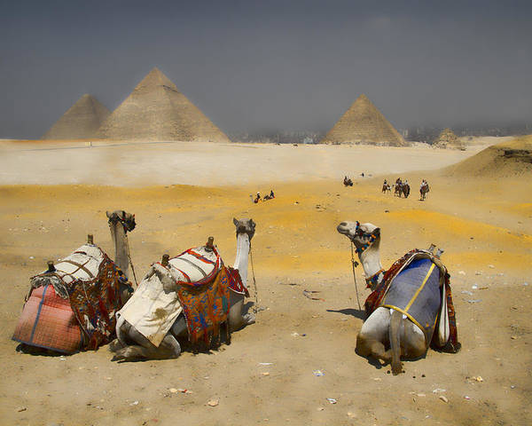 Egypt Poster featuring the photograph Scenic View Of The Giza Pyramids With Sitting Camels by David Smith