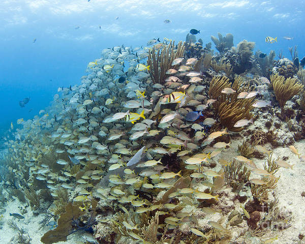 Porkfish Poster featuring the photograph Schools Of Grunts, Snappers, Tangs by Karen Doody