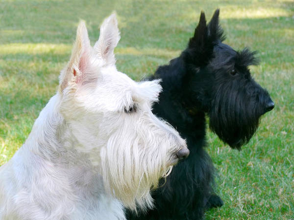Scottish Terrier Poster featuring the photograph Scottish Terrier Dogs by Jennie Marie Schell