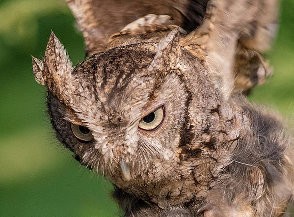 Screech Owl Poster featuring the photograph Screech Owl In Flight by Lowell Monke