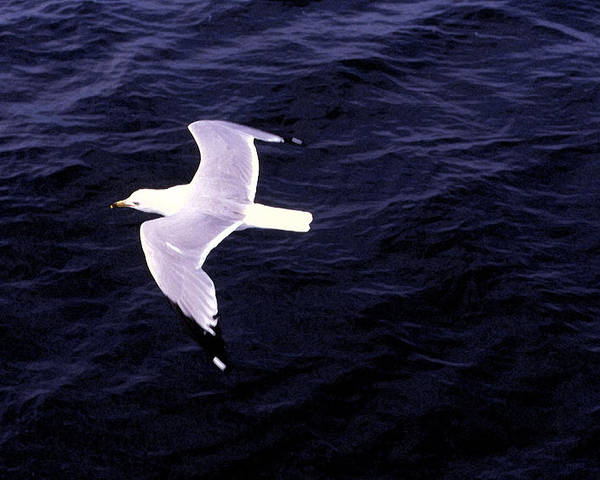 Sea Gull Poster featuring the photograph Sea Gull Over Water Dbwc by Lyle Crump