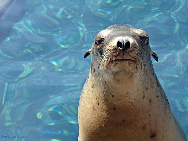 Sea Poster featuring the photograph Sea Lion Or Seal by Cheryl A Beaudoin