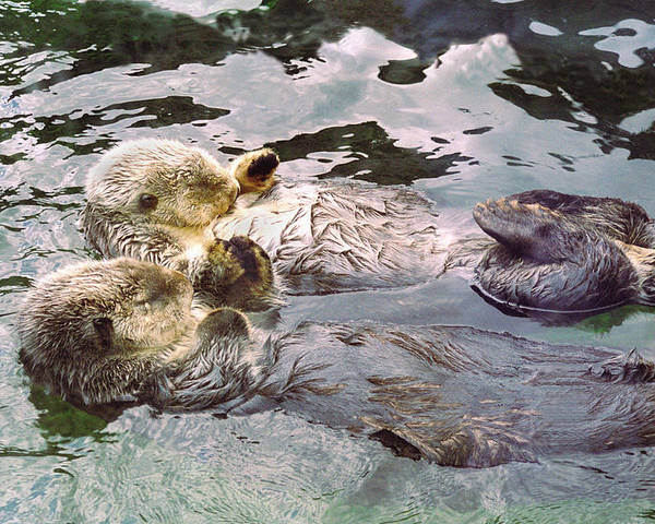 Buffaloworks Poster featuring the photograph Sea Otters Holding Hands by BuffaloWorks Photography
