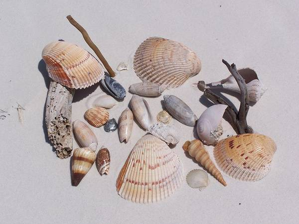 Ocean Poster featuring the photograph Sea Shells On White Sand by Holly Eads