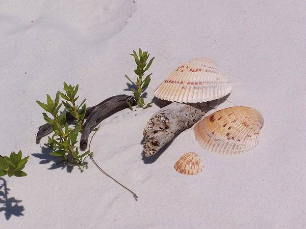 Sea Poster featuring the photograph Sea Shells With Drift Wood And Small Plants by Holly Eads
