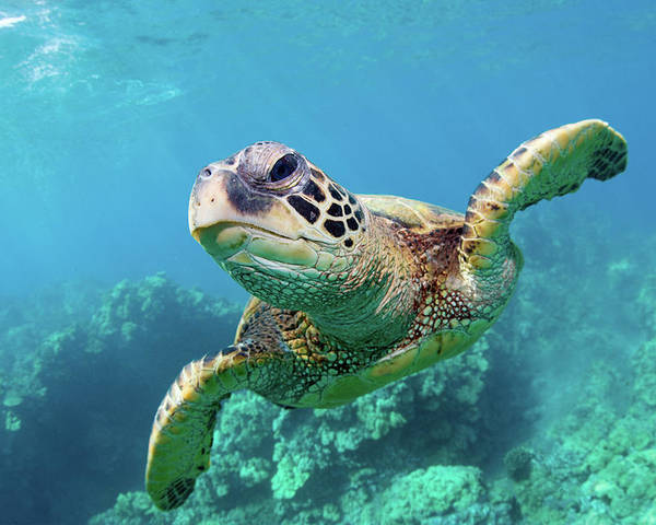 Horizontal Poster featuring the photograph Sea Turtle, Hawaii by Monica and Michael Sweet