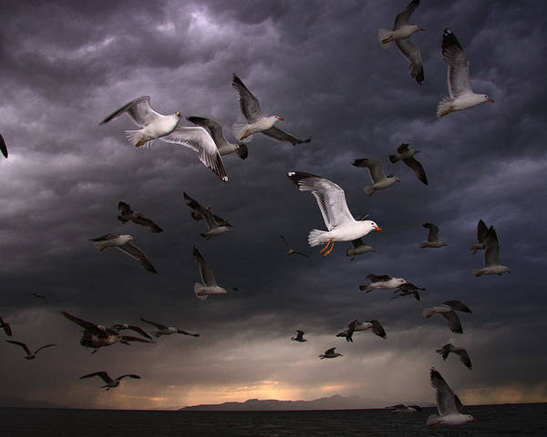 Gull Poster featuring the photograph Seagull Storm by Gene Praag