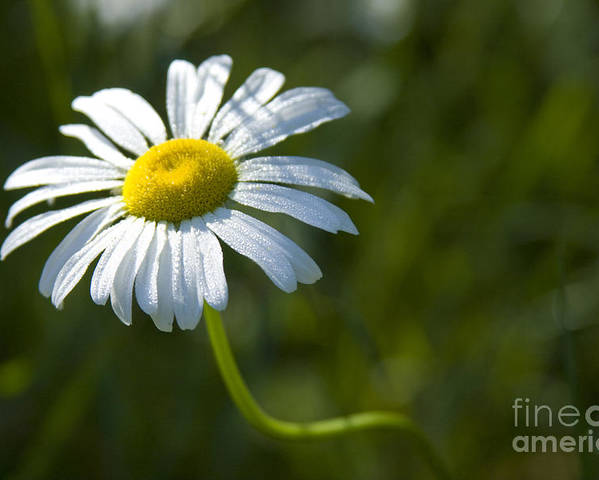 Daisy Poster featuring the photograph Searching For Sunlight by Idaho Scenic Images Linda Lantzy
