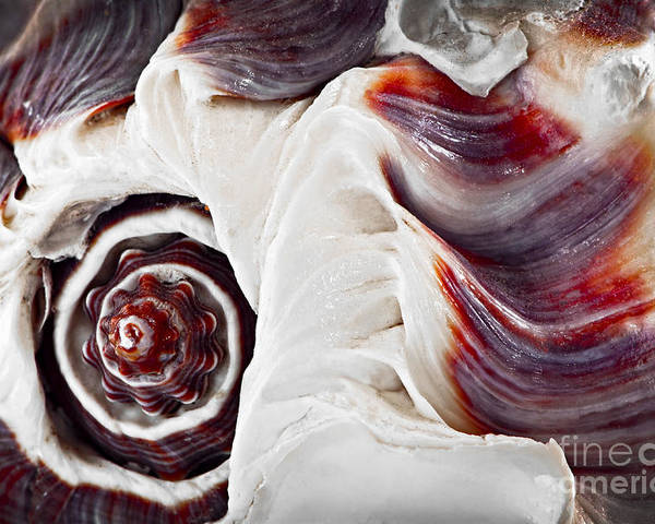 Shell Poster featuring the photograph Seashell Detail by Elena Elisseeva