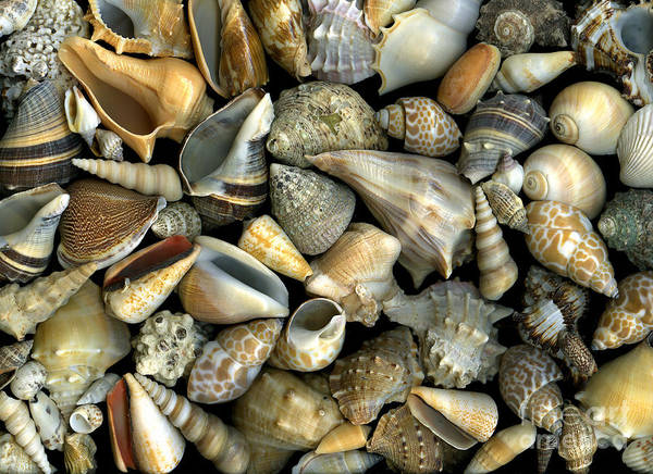 Shells Poster featuring the photograph Seashell Medley by Christian Slanec