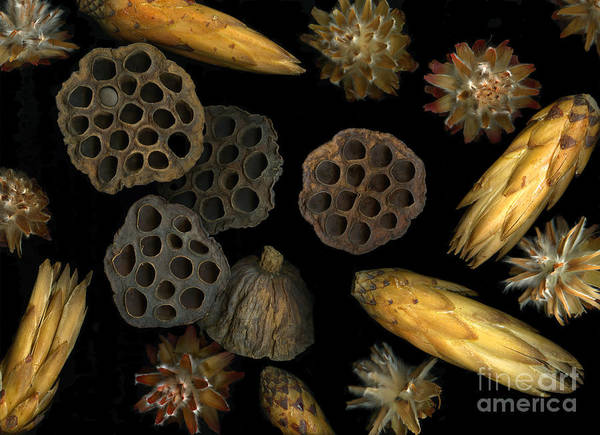 Pods Poster featuring the photograph Seeds And Pods by Christian Slanec