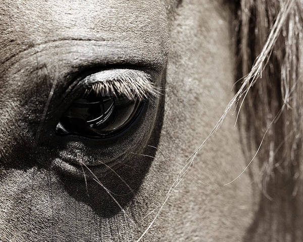 Americana Poster featuring the photograph Stillness In The Eye Of A Horse by Marilyn Hunt