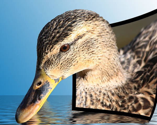 Duck Poster featuring the photograph Seeking Water by Shane Bechler