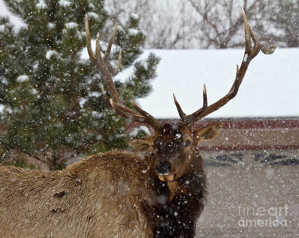 Animal Poster featuring the photograph Seven Point Bull Elk by Crystal Garner