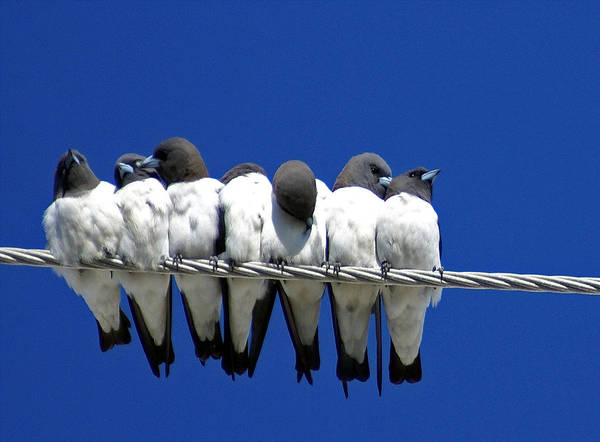 Animals Poster featuring the photograph Seven Swallows Sitting by Holly Kempe