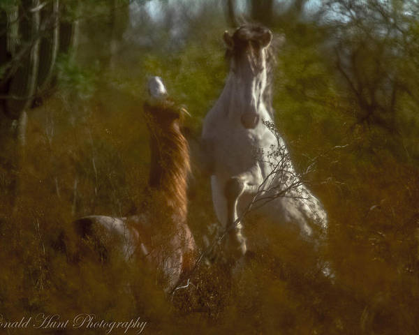 Salt River Wild Horses Poster featuring the photograph Shadow Fighting by Ronald Hunt