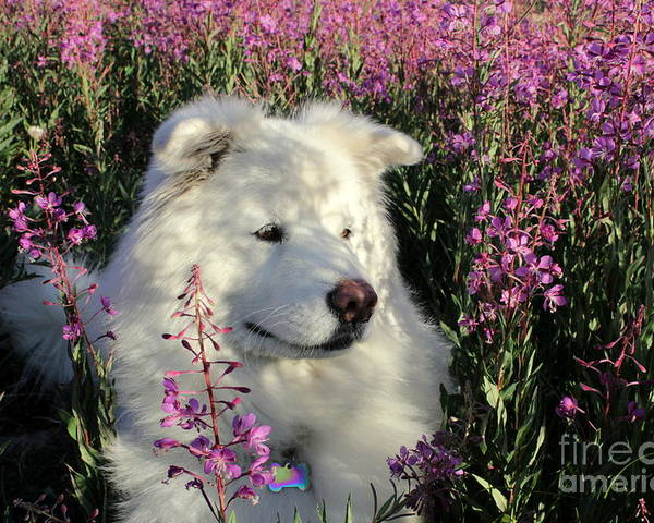 Samoyed Poster featuring the photograph Shadows by Fiona Kennard
