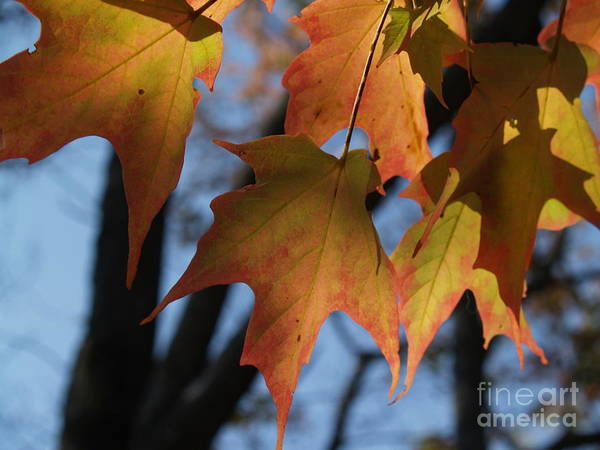 Leaf Poster featuring the photograph Shadowy Sugar Maple Leaves In Autumn by Anna Lisa Yoder