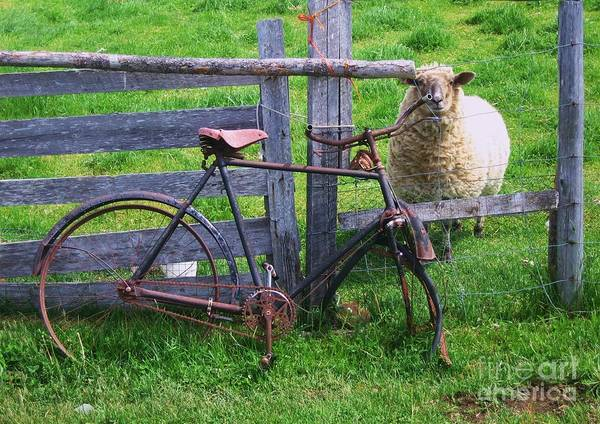 Photograph Sheep Bicycle Fence Grass Poster featuring the photograph Sheep And Bicycle by Seon-Jeong Kim
