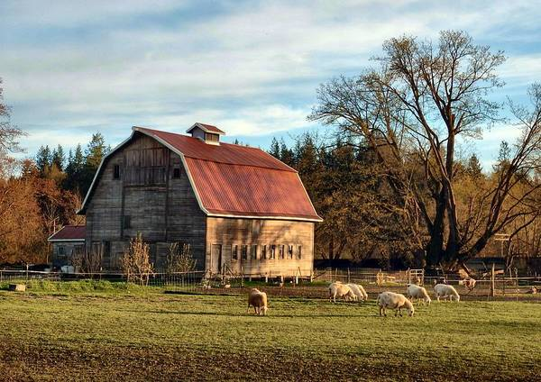 Barn Poster featuring the photograph Sheep Farm by Jim Romo