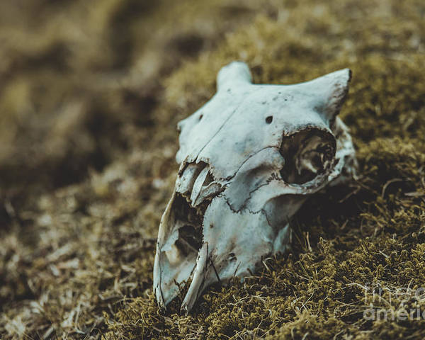 Poster featuring the photograph Sheep Skull by Marc Daly