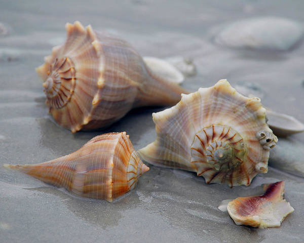 Shells Poster featuring the photograph Shells For Barb by Pat Guichet