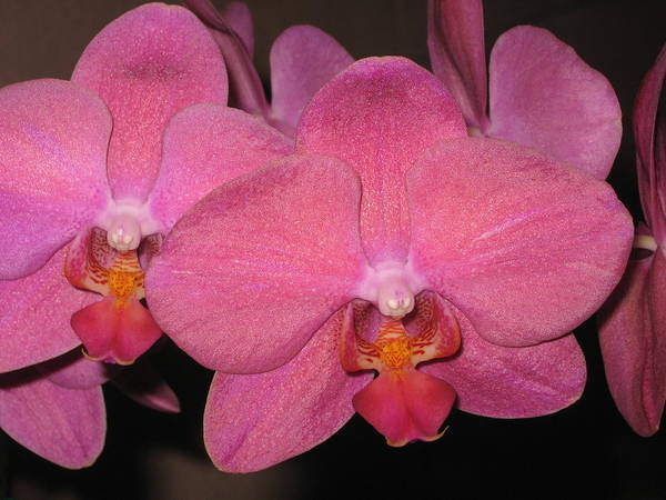 Orchid Poster featuring the photograph Shimmer by Betnoy Smith