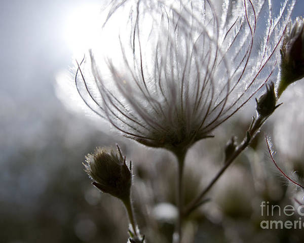 Abstract Poster featuring the photograph Shimmering Flower I by Ray Laskowitz - Printscapes
