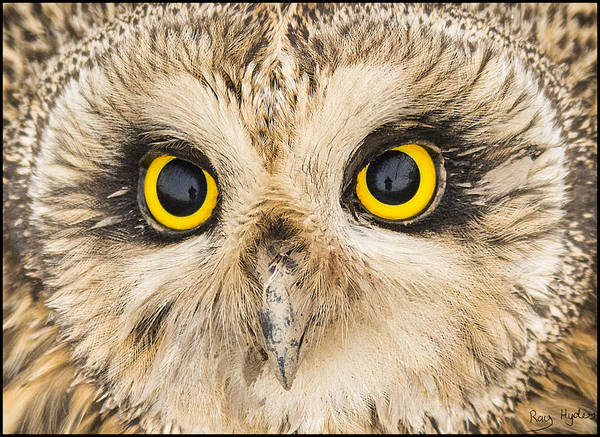 Close Up Poster featuring the photograph Short-eared Owl Face by Ray Hydes
