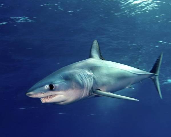 Horizontal Poster featuring the photograph Shortfin Mako Sharks by James R.D. Scott
