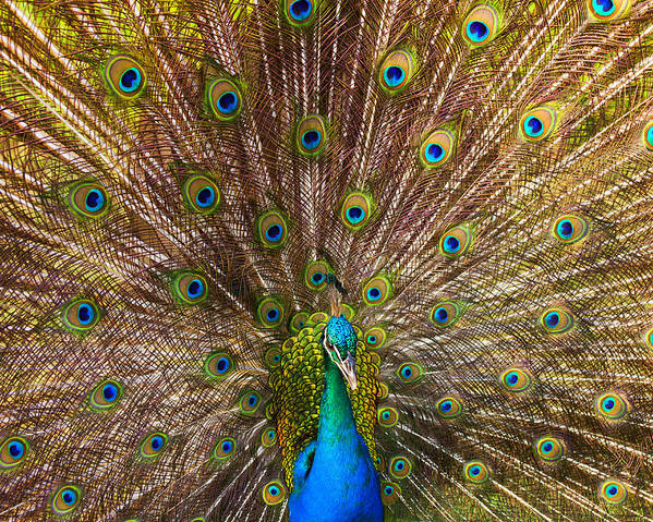 Peacock Poster featuring the photograph Showing Your Colors by Mike Dawson