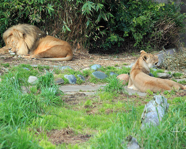 A Magnicent Male Lion And His Lioness Lounging In The Afternoon Sun! Poster featuring the photograph Siesta Time by Suzanne Gaff