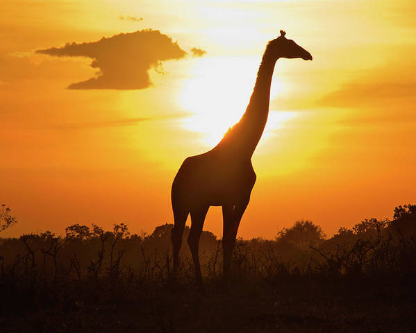 Horizontal Poster featuring the photograph Silhouette Giraffe At Sunset by Joost Notten