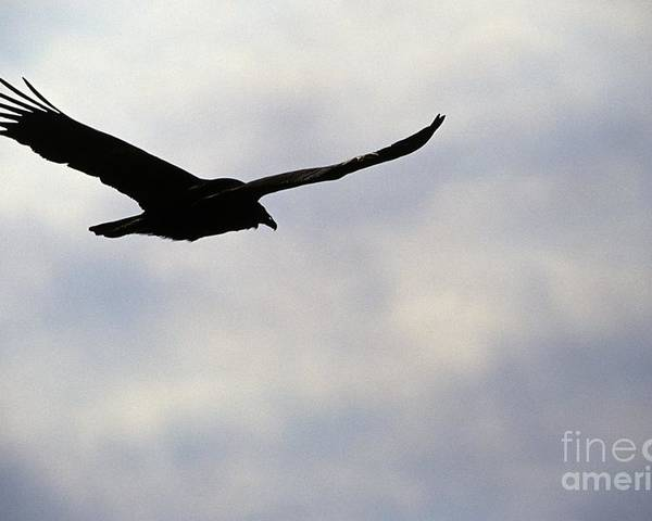 Silhouette Poster featuring the photograph Silhouette Of A Turkey Vulture by Erin Paul Donovan