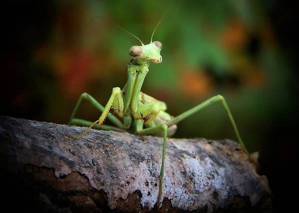 Mantis Poster featuring the photograph Silly Mantis by Karen M Scovill