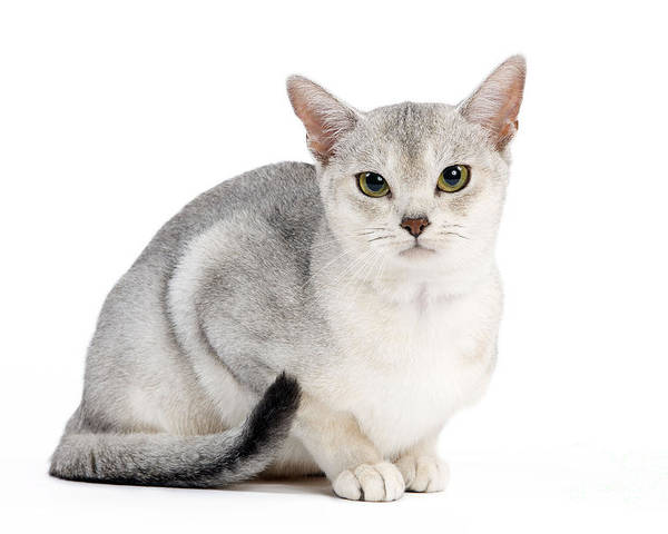 Black Silver Abyssinian Cat