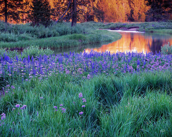 Silvery Lupine Poster featuring the photograph Silvery Lupine by Leland D Howard