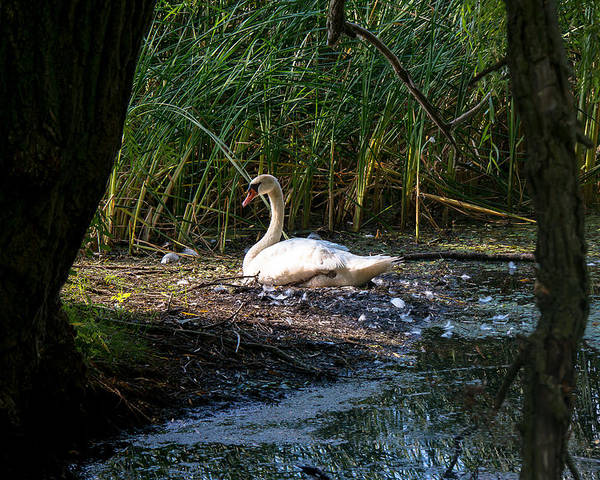 Swan Poster featuring the photograph Simple Beauty by Kristin Hunt