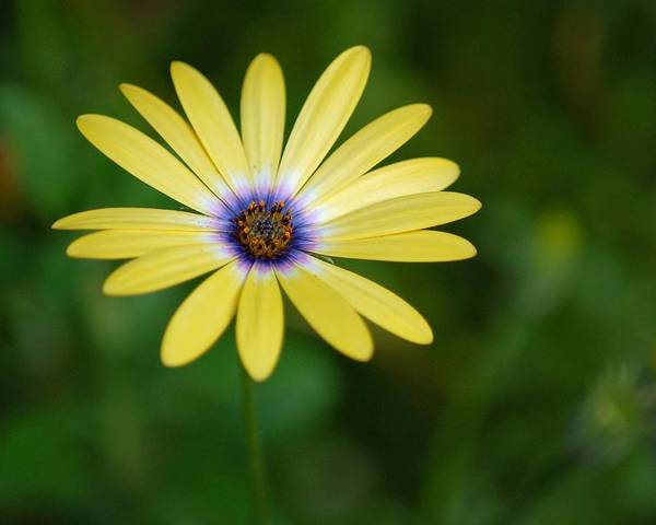 Flower Poster featuring the photograph Simple Flower by Jennifer Englehardt