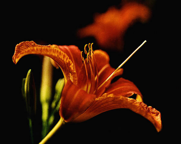 Garden Poster featuring the photograph Single Tiger Lily by Roger Soule