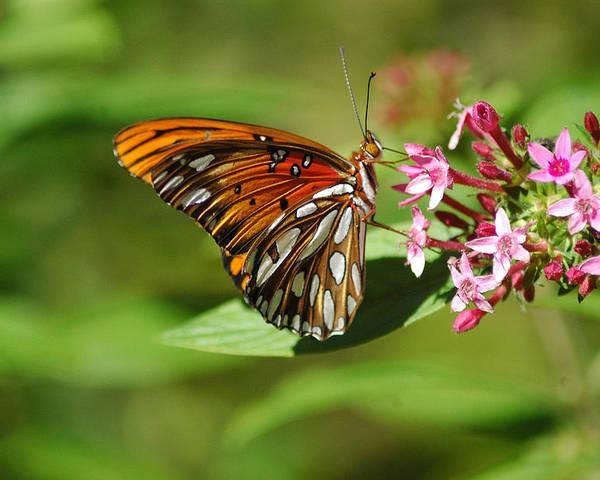 Butterflies Poster featuring the photograph Sippin' The Good Stuff by Robert Anschutz