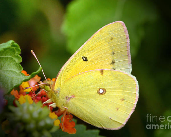Yellow Poster featuring the photograph Sipping Nectar by Jeannie Burleson