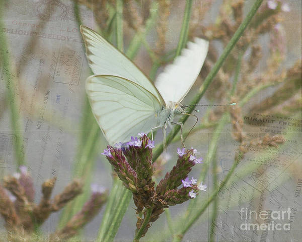 Butterfly Poster featuring the photograph Sitting Pretty, Cabbage White Butterfly by TN Fairey