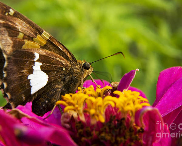 Silver-spotted Skipper Poster featuring the photograph Skipper On Zinnia by Thomas R Fletcher