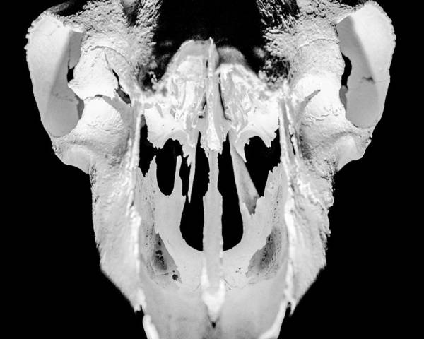 Skull Poster featuring the photograph Skull Detail by Alex Snay