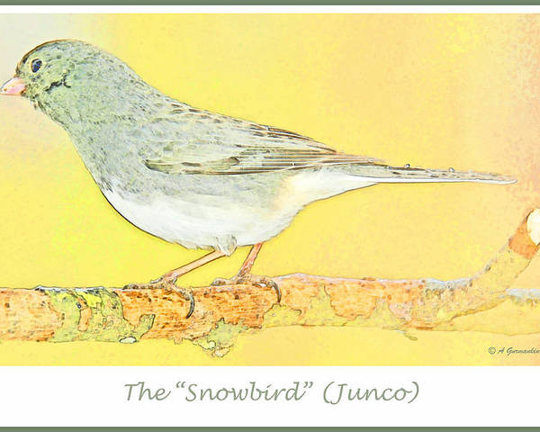 Digital Art Poster featuring the digital art Slate Colored Junco The by A Gurmankin