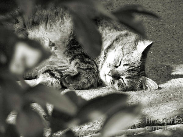 Kitty Poster featuring the photograph Sleeping Beauty by Amy Delaine