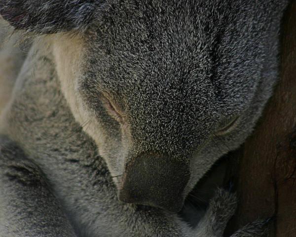 Zoo Poster featuring the photograph Sleeping Koala Bear by Anthony Jones