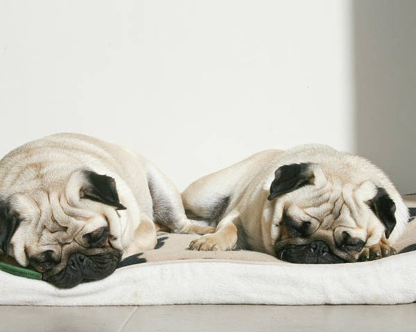 Horizontal Poster featuring the photograph Sleeping Pug Dogs by Elli Luca